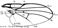 Melanagromyza laetifica, wing