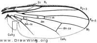Botanophila spinidens, wing