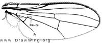 Acridomyia canadensis, wing