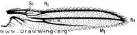 Anthomyza sabulosa, wing
