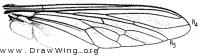 Promachus bastardii, wing