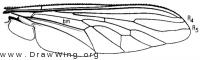 Proctacanthus milbertii, wing