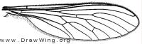 Leptogaster cylindrica, wing