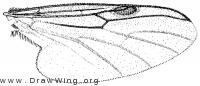 Bibio xanthopus, wing