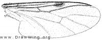 Bibiodes aestivus, wing