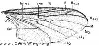Plecia americana, wing