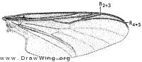 Penthetria heteroptera, wing