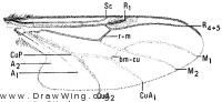 Dilophus, wing