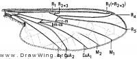 Agathon doanei, wing