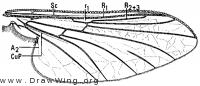 Bibiocephala grandis, wing