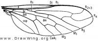 Amphicosmus elegans, wing