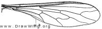 Dolichomyia, wing