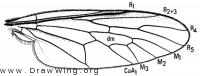 Caenotus inornatus, wing