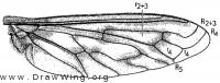 Ligyra gazophylax, wing