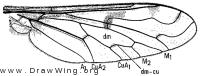 Lepidanthrax campestris, wing