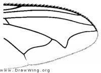 Calliphora vomitoria, wing tip