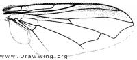 Chloroprocta fuscanipennis, wing