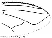 Stomorhina lunata, wing tip
