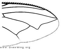 Acrophaga genarum, wing tip