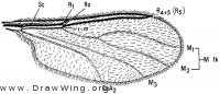 Lestremia cinerea, wing