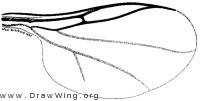 Acoenonia perissa, wing