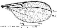 Micromya mana, wing