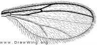 Cordylomyia denningi, wing