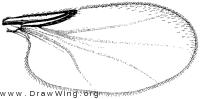 Forbesomyia, wing