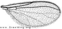 Catocha slossonae, wing