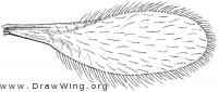 Heteropeza pygmaea, wing