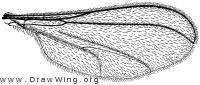 Porricondyla nigripennis, wing
