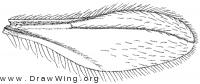 Parwinnertzia, wing