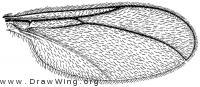 Haplusia, wing