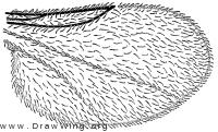 Camptoneuromyia adhesa, wing
