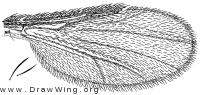 Forcipomyia (Lasiohelea) fairfaxensis, wing