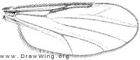 Atrichopogon (Psilokempia), wing