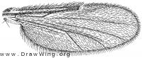 Dasyhelea pseudoincisurata, wing