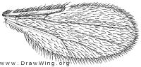 Paradasyhelea minuta, wing