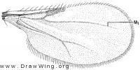 Rhynchohelea monilicornis, wing