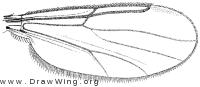Stilobezzia (Eukraiohelea) elegantula, wing
