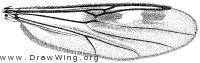 Clinohelea bimaculata, wing