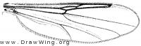 Palpomyia plebeia, wing