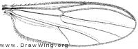 Probezzia pallida, wing