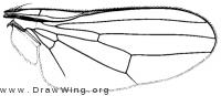 Paraleucopis corvina, wing