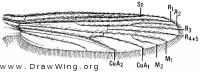 Chaoborus americanus, wing