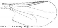 Clunio, wing