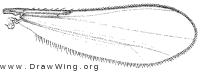 Corynoneura, wing
