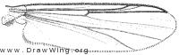 Orthocladius decoratus, wing