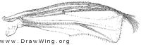 Corynocera, wing