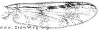 Psectrotanypus dyari, wing